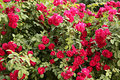 Climbing rose great shrub of red Royalty Free Stock Image