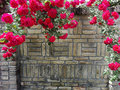 Climbing pink roses Royalty Free Stock Photo