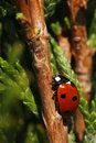 Climbing seven-spot ladybird Royalty Free Stock Photography