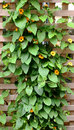 Climbing vine trellis Stock Photo