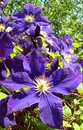 A climbing vine of violet Clematis flowers Royalty Free Stock Photo