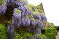 Climbing wisteria rambling on an old english walled garden Stock Photo