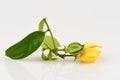 Climbing ylang-ylang, climbing ilang-ilang, manorangini, hara-champa or kantali champa, flowers. Royalty Free Stock Photo