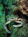 Clinging Crab Royalty Free Stock Photos
