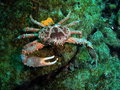 Clinging Crab Royalty Free Stock Images