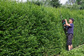 Clip a hedge gardening worker is cutting privet Royalty Free Stock Photography