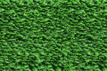 Clipped hedgerow green thujas shrubs trimmed bushes bright closeup Stock Photography