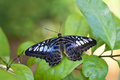 Clipper Butterfly Royalty Free Stock Photos