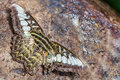 Clipper butterfly close up of parthenos sylvia with tattered wings puddling on the rock in nature dorsal view Stock Photo