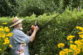 Clipping a hedge Stock Image