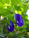 Clitoria ternatea or butterfly pea in bloom Stock Photography