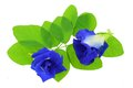 Clitoria ternatea butterfly pea blue pea closeup photo of isolated on white Stock Photo