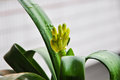 Clivia bud fulling of water drop a against a openning background with Royalty Free Stock Images