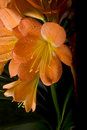 Clivia flower. Royalty Free Stock Photo