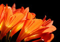 Clivia minata detail Royalty Free Stock Photo
