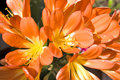 Photo : Clivia miniata   nobilis