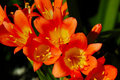 Photo : Clivia Miniata flower  and