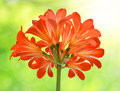 Clivia miniata orange on green background Royalty Free Stock Photography