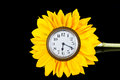 Clock in sunflower white face yellow petals funny Stock Images