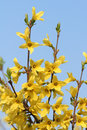 Forsythia flowers Royalty Free Stock Photo