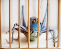 Close of a caged cricket macro shot chinese Royalty Free Stock Images