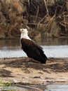 Close encounter with an African Fish Eagle Royalty Free Stock Photo