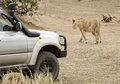 Close encounter with hunting lioness african cross road in front of safari car masai mara national reserve kenya Stock Photos