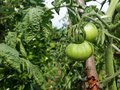 Close of green tomato growing in the garden, solanum lycopersicum. Royalty Free Stock Photo