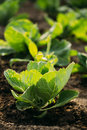 Close green vernal seedlings of cabbage or brassica oleracea planted up sunny view the sappy plants in open ground soil at the Stock Images