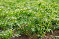 Close Green Vernal Sprouts Of Potato Plant, Solanum Tuberosum Gr Royalty Free Stock Photo