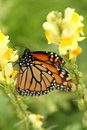 Close Monarch Butterfly Profil...