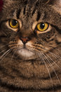 Close portrait of a female tabby cat big yellow eyes Royalty Free Stock Photo