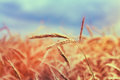 Close Ripe Wheat Spikelets On Cornfield. Toned Instant Filtered Royalty Free Stock Photo