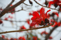 Close shoot of kapok flower red silk cotton tree red flowers on branches Stock Photos