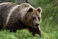 Close shot of large male brown bear Royalty Free Stock Photo