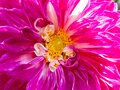Super fine macro of Pink Flower. Royalty Free Stock Photo