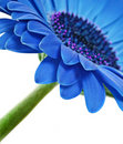 Close up abstract of one  blue daisy Royalty Free Stock Photo
