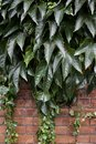 Close up abstract view of beautiful green Boston ivy vines cascading over a red brick wall