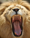 Close up of adult african male lion roaring showin Stock Photos