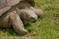Close-up of a adult Tortoise Royalty Free Stock Photography