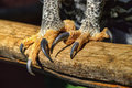 Close up of african crowned eagle talons detail an s deadly as it perches on a branch Stock Photo