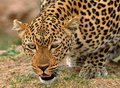 Close up of an African Leopard crouching down ready to pounce Royalty Free Stock Photo
