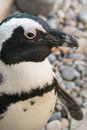Close up of an African penguin
