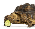 Close up of an african spurred tortoise eating a bit of cucumber geochelone sulcata isolated on white Royalty Free Stock Photos