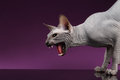Close-up Aggressive Sphynx Cat Hisses on purple Royalty Free Stock Photo