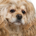 Close-up of American Cocker Spaniel Royalty Free Stock Photo