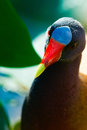 Close-up of an American Purple Gallinule Stock Images
