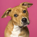 Close up of a american staffordshire terrier months old Royalty Free Stock Image