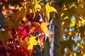 Close up of American sweetgum Liquidambar styraciflua autumn colored leaves illuminated by sunlight; fall concept