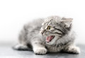Close-up of angry kitten Royalty Free Stock Photo